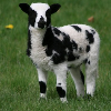 julia_here: Jacob wether lamb Calypso, soon to be mine (My Lamb)