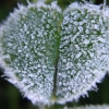 calissa: Macro photo of a clover leaf covered in frost (Winter)