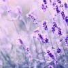 aelia: lavender (lavender)
