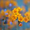 aelia: yellow flowers (yellow flowers)