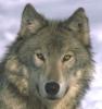mephistophel: (wolf)
