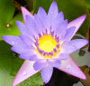 ofearthandstars: Photo of purple water lily (from Maui, Hawaii) (Iao Valley-Purple)