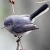 queenlua: (Blue-Gray, Gnatcatcher)