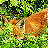 ivga: (foxshape)