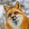 pepparoc: (Fox)