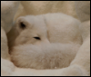 pepparoc: (Arctic Fox)