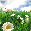 anonymous_sibyl: A very bright and close view of a daisy on green grass with a blu sky in the background. It's cheerful. (Default)