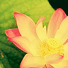 phlourish_icons: (Lotus)