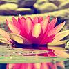phlourish_icons: (LotusBlossom)