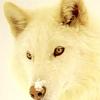 phanaeus: (Wolf Looking Left)