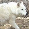phanaeus: (Wolf Hackles Raised)