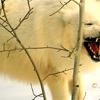 phanaeus: (Wolf Angry)