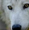 phanaeus: (Wolf Puppy Eyes)