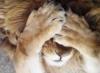 eustafius: (Lion)