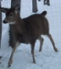 oonaseckar: bambi (Default)