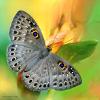 androld: бабочка (бабочка)