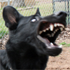 slave2tehtink: A black GSD with his mouth wide open, crazy eyes, and ears all wonky.  He looks like a dork. (Sid Dorkface)