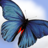 wallwalker: Butterfly with blue and orange wings against a blue sky (butterfly)