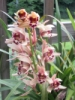 bloomingpol: Orchid blooming outside (orchids)
