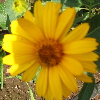 heliopsis: yellow daisy (Default)