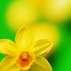 faerielissa: (daffodil)