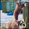 loveandwar: Two bear cubs are caught in the act of raiding a dumpster (We didn't do nuffink)