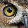 italiceyeball: An Owl's Eye (owl)