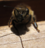 liralen: A pictures of one of my bees (bee)