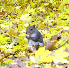 yourlibrarian: Squirrel eating a nut among yellow leaves (NAT-Squirrel Icon-yourlibrarian)