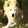 whitefang: [Animals] White Wolf (white wolf)
