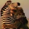 zeborah: Zebra and lion hugging (cat, hugs)