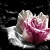 ext_110154: (Flowers-Rose2)