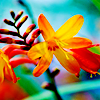 emilita: (orange flowers)