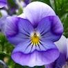violetcheetah: (viola)