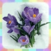 rainbow: Photo of purple crocusses blooming atop snow (spring is on the way)