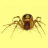 gesundheit: Brown recluse on pale yellow background (Spider)