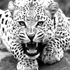 unstabledreams: (animal, bnw, jaguar)