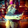 leesa_perrie: Dog, called Bear, from Person of Interest, with chewed book in his mouth (Bear)