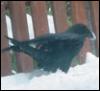 maellenkleth: (raven-snow-beak)