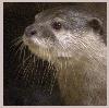 owlmoose: (otter)