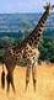 curious_reader: (Girafe)