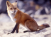 curious_reader: (Red fox)
