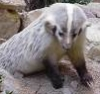 curious_reader: (American badger)