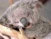 curious_reader: (koala)