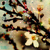attie: A cherry branch with an individual blossom. (justpretty - cherry blossoms)