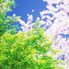 attie: A pink blooming cherry tree and a green growing tree in spring, shot against a bright blue sky. (justpretty - pink & green tree)