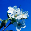 attie: An individual white flower, shot against a blue sky. (justpretty - flower on blue)