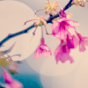attie: A single branch with pink hanging flowers. (justpretty - pink flowers)