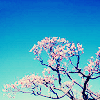 attie: A pink blossoming cherry tree against a bright blue sky. (justpretty - cherry tree)