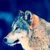 attie: A wolf. (misc - wolf)